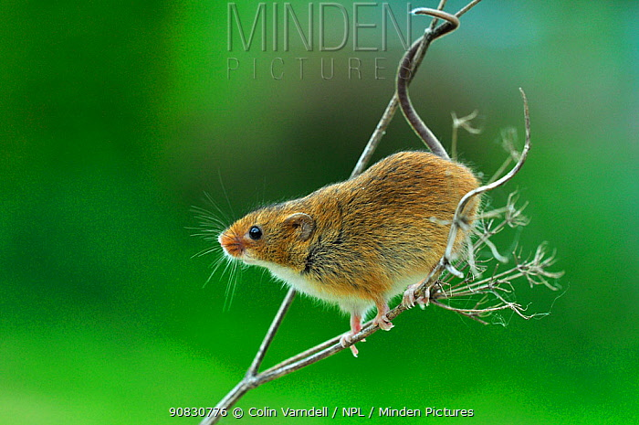 Harvest mouse (Micromys minutus) showing prehensile tail, Dorset, England, UK. May. Captive.