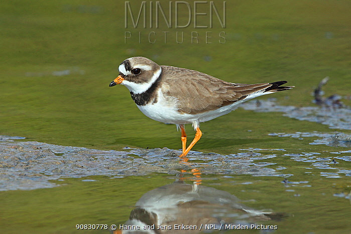 Common ringed plover (Charadrius hiaticula) in shallow water, Norway, May