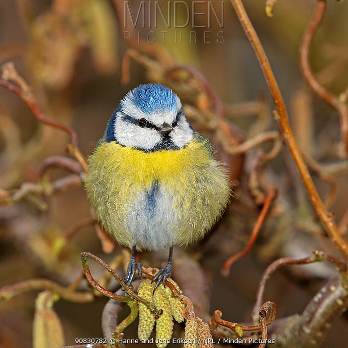 Eurasian blue tit (Parus caeruleus) fluffed up and perched on twig, Denmark, March