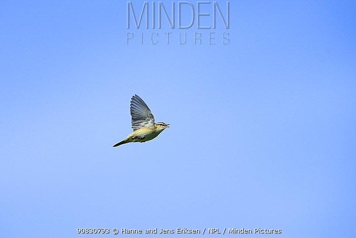 Sedge warbler (Acrocephalus schoenobaenus) in song flight, Germany, June