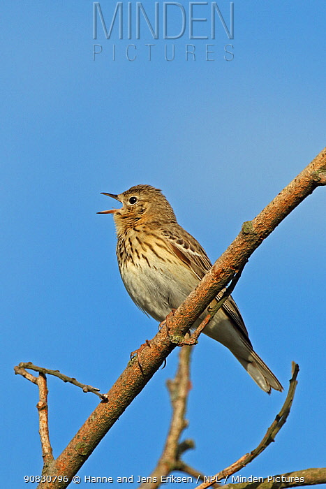 Tree pipit (Anthus trivialis) singing and perched on branch, Denmark, May
