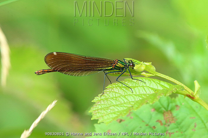 Beautiful demoiselle (Calopteryx virgo) female on leaf, Denmark, July