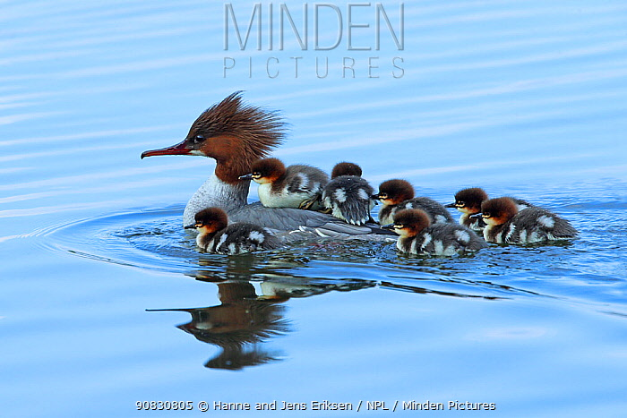 Common merganser (Mergus merganser) female with young on back and around her, Germany, April