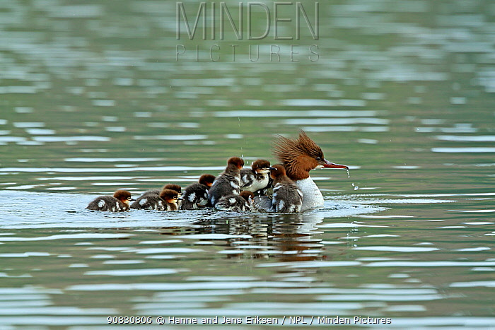 Common merganser (Mergus merganser) female with young on back and following her, Germany, April