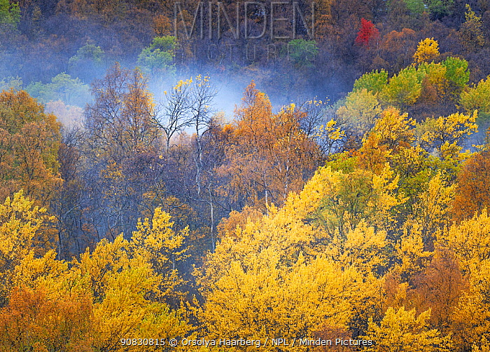 Yellow Mountain birch (Betula pubescens) forest in autumn. Boverdalen valey, Oppland, Norway.