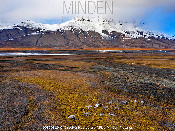 Aerial view of herd of Svalbard reindeer (Rangifer tarandus platyrhynchus) in the Adventdalen valley, Spitsbergen, Svalbard, Norway.