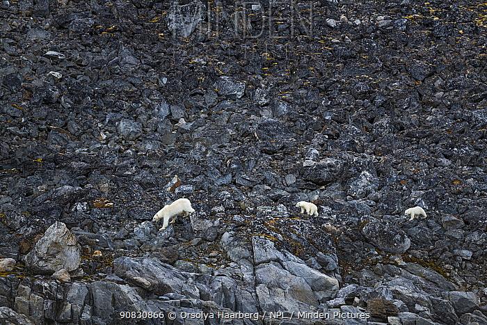 Polar bear (Ursus maritimus) with cubs, walking on the sea shore in summer. Smeerenburgfjorden, Svalbard, Norway. August.