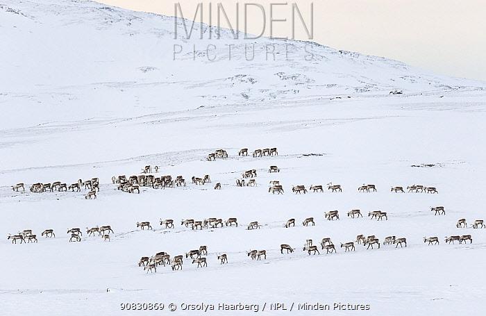 Herd of wild reindeer (Rangifer tarandus) in snow-covered winter landscape. Forollhogna National Park, Norway. January.