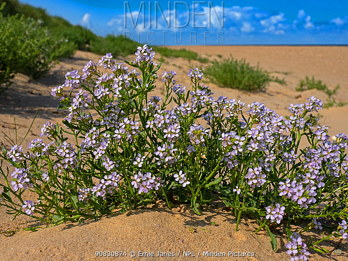 European searocket (Cakile maritima) flowers, Thornham Dunes, Norfolk, England, UK, August.