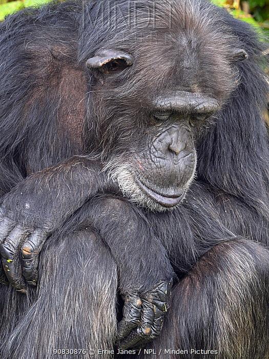Chimpanzee (Pan troglodytes) portrait, captive.