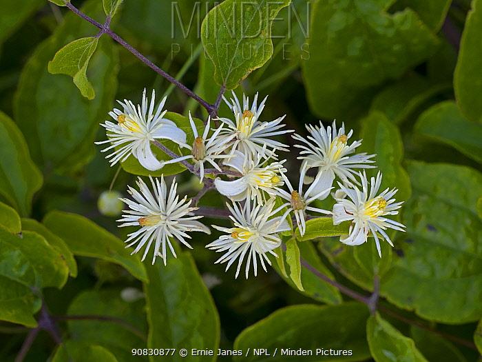 Old man's beard flowers (Clematis vitalba) Thornham Dunes, Norfolk, England, UK, August. August
