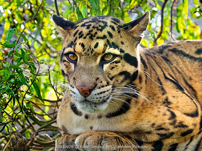 Clouded leopard (Neofelis nebulosa) portrait, captive, occurs in the Himalayas.