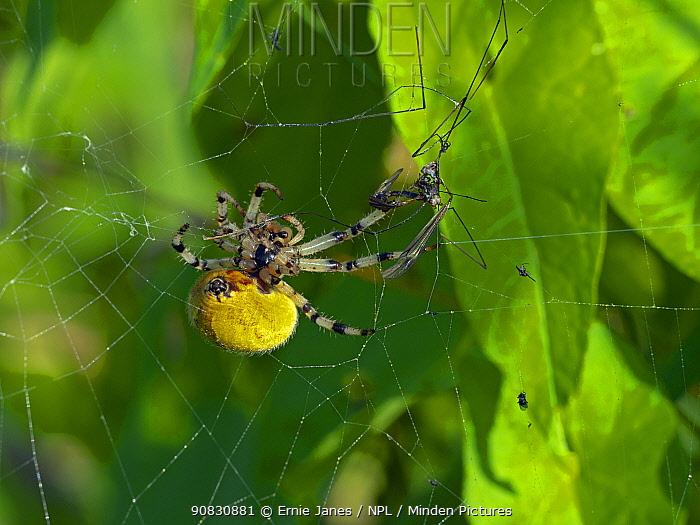 Common orb weaver spider (Metellina segmentata) in garden, Norfolk, England, UK, August.