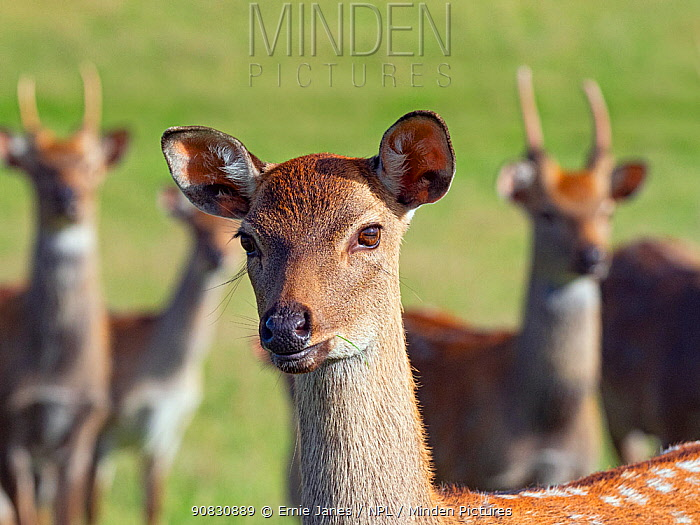 Formosan sika deer (Cervus nippon taiouanus) female with males behind, captive, native to Taiwain. Extinct in the wild.