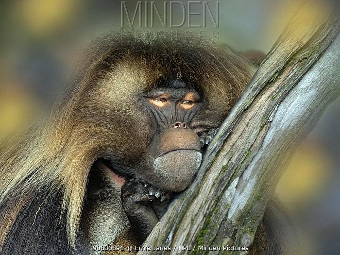 Gelada baboon (Theropithecus gelada) male resting. Captive, endemic to Ethiopia.