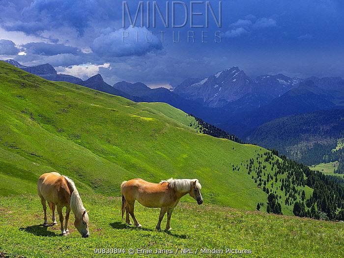 Haflinger horses, Seiser Alm, Dolomites, South Tyrol, Italy, July 2019.