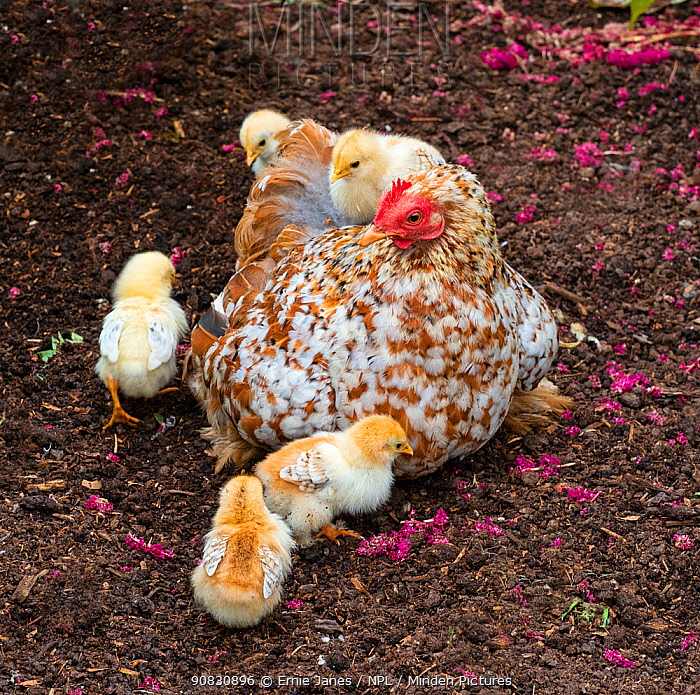 Domestic farmyard hen with newly hatched chicks.