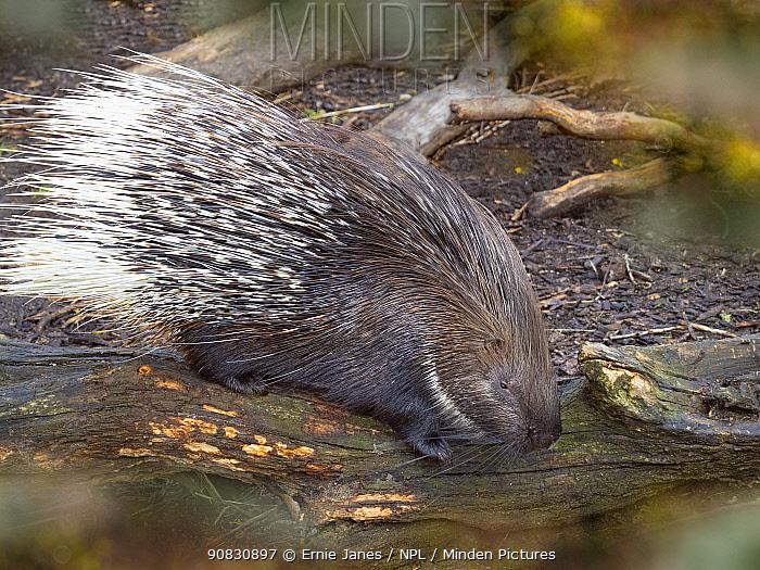 Indian crested porcupine (Hystrix indica) portrait, captive.