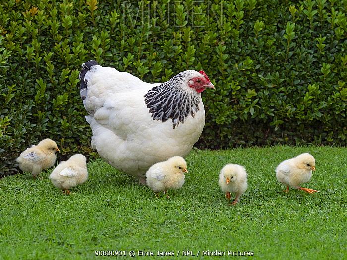Light Sussex chicken hen with chicks