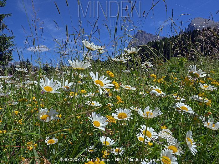 Ox-eye daises (Leucanthemum vulgare) in alpine meadow Dolomites, Italy, July.