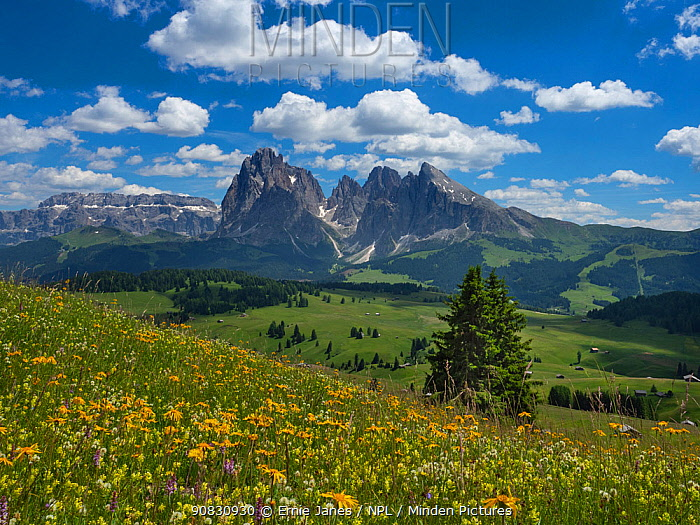 Alpine meadow landscape - Seiser Alm with mountains of Langkofel Group in the background. Dolomoites, South Tyrol, Italy. July 2019.