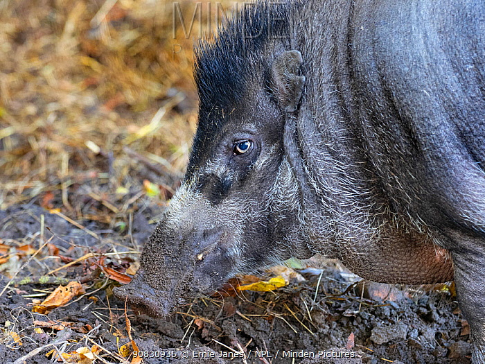 Visayan warty pig (Sus cebifrons) portrait, captive. Endemic to Visayan Islands, Philippines. Critically endangered species.