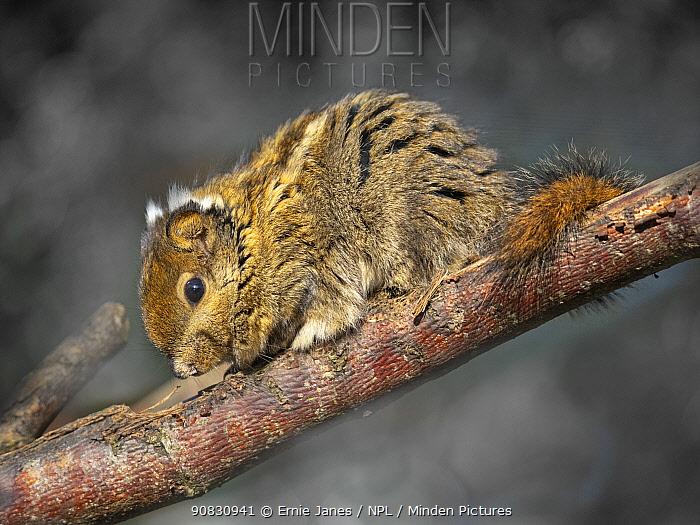 Asiatic striped squirrel (Tamiops swinhoei) portrait, captive.