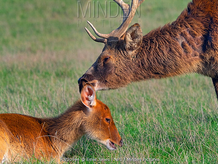 Barasingha / Swamp deer (Rucervus duvaucelii) male sniffing resting female. Captive. Occurs in India and Nepal.