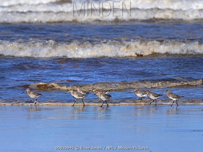 Bar-tailed godwits (Limosa lapponica) flock feeding feeding on Titchwell beach RSPB Reserve, Norfolk, England, UK.