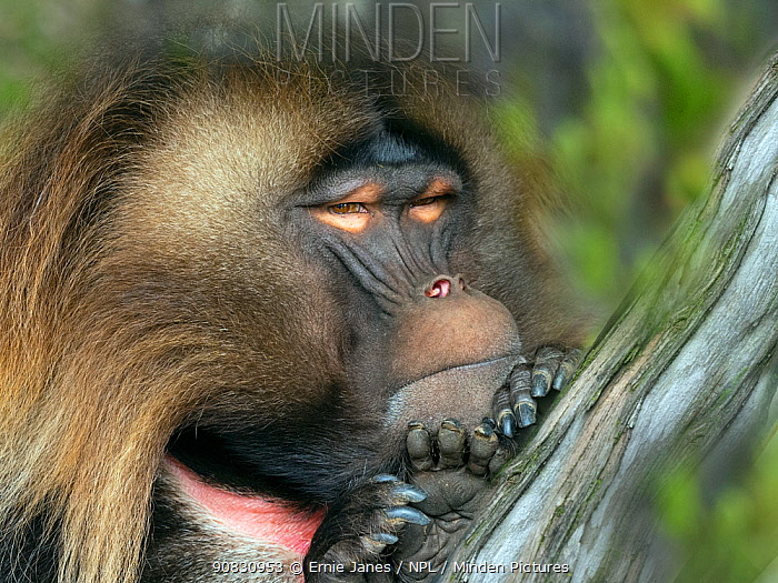 RF - Gelada baboon (Theropithecus gelada) male resting, captive. (This image may be licensed either as rights managed or royalty free.)