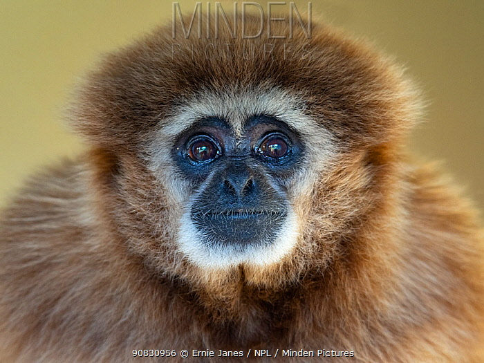 RF - Lar gibbon (Hylobates lar) portrait, captive. (This image may be licensed either as rights managed or royalty free.)
