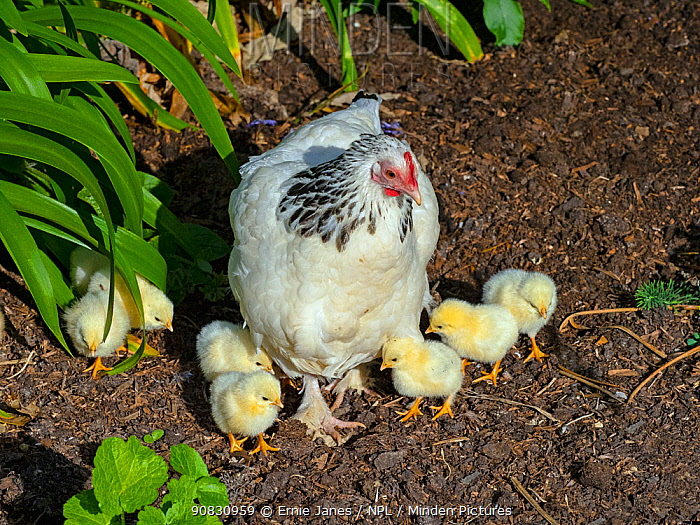 RF - Light Sussex hen with chicks (This image may be licensed either as rights managed or royalty free.)