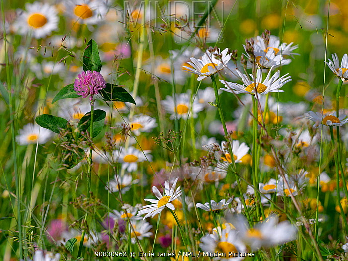 RF - Ox-eye daisies (Leucanthemum vulgare) and Red clover (Trifolium pratense) in Alpine meadow, Dolomites, Italy, July. (This image may be licensed either as rights managed or royalty free.)