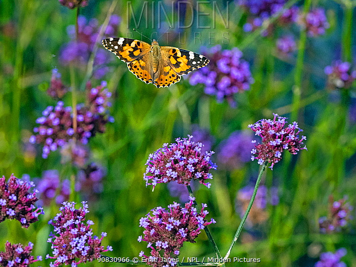 Painted lady butterfly (Cynthia cardui) in flight to feed on verbena flowers