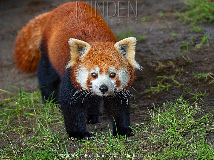 RF - Red panda (Ailurus fulgens) portrait, captive. (This image may be licensed either as rights managed or royalty free.)