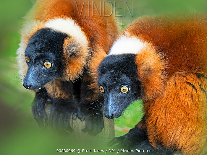 RF - Red-ruffed lemur (Varecia rubra) portrait of two captive, occurs in Madagascar. (This image may be licensed either as rights managed or royalty free.)