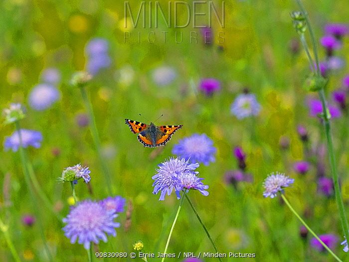 Small tortoiseshell butterfly (Aglais urticae) flying to flower, Wensum Valley, Norfolk, UK