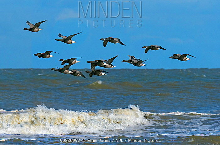 RF - Brent geese (Branta bernicla) flock in flight over the north sea at Titchwell RSPB Reserve, Norfolk, UK. (This image may be licensed either as rights managed or royalty free.)