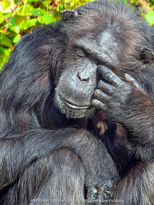 RF - Chimpanzee (Pan troglodytes) rubbing eyes, captive (This image may be licensed either as rights managed or royalty free.)