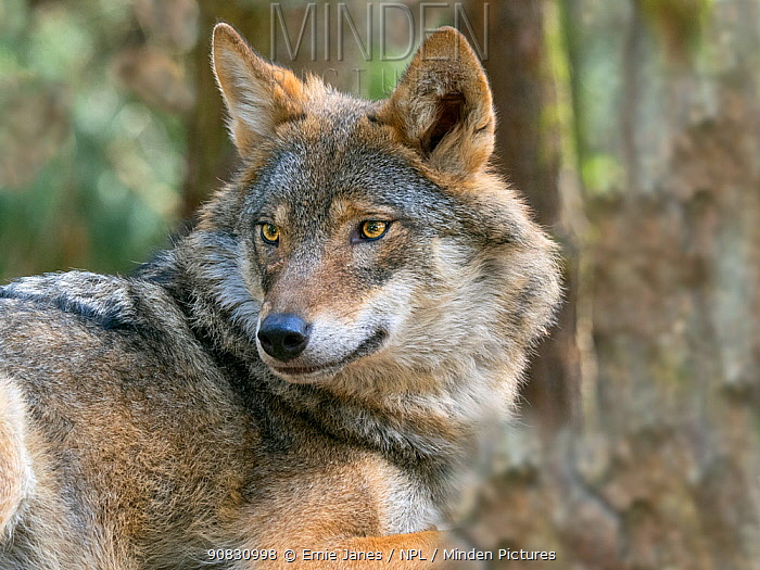 RF - Grey wolf (Canis lupus) portrait, Captive. (This image may be licensed either as rights managed or royalty free.)
