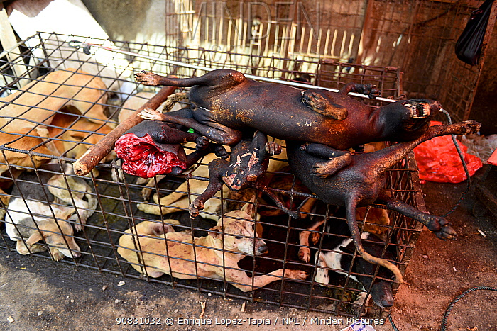 Cooked dog meat resting on cage with live dogs. Tomohon food market, north of Sulawesi, Indonesia.