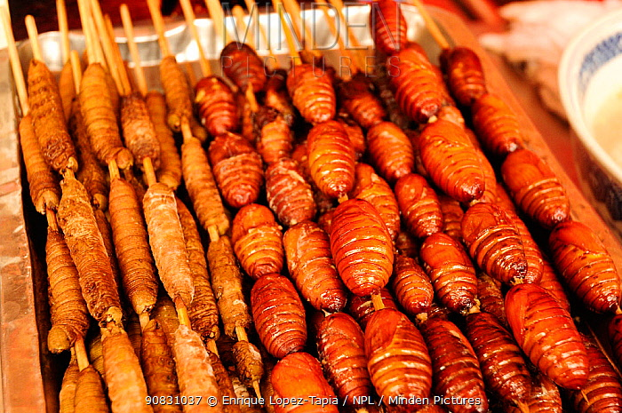 Caterpillars and butterfly pupae on skewers, ready to eat. Open-air food market in central Beijing, China.