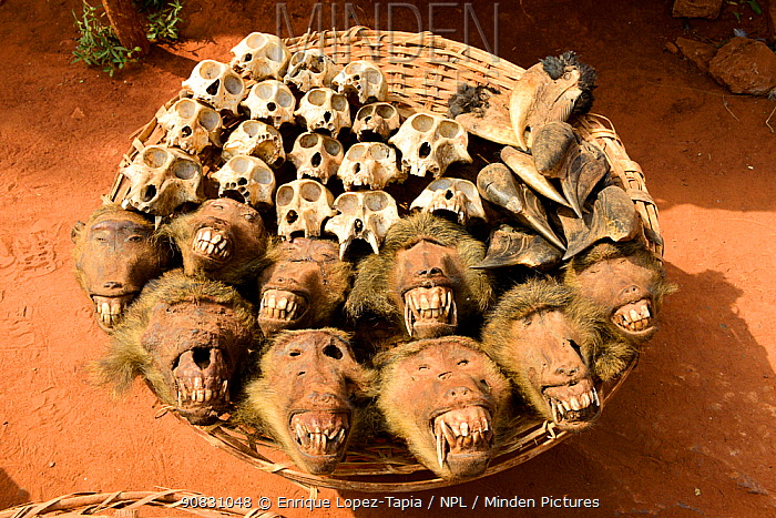 Olive baboon (Papio anubis) heads and skulls for sale alongside hornbills at the voodoo market in Abomey, Benin, West Africa. Any wild animal that runs, flies, jumps or crawls is hunted to supply these markets for voodoo ceremonies.