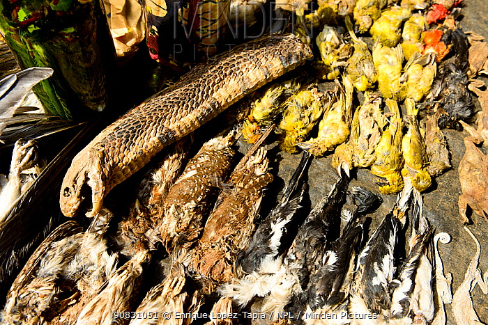 A cobra, owlets and other birds for sale in the voodoo market in Abomey, Benin, West Africa. Any wild animal that runs, flies, jumps or crawls is hunted to supply these markets for voodoo ceremonies.
