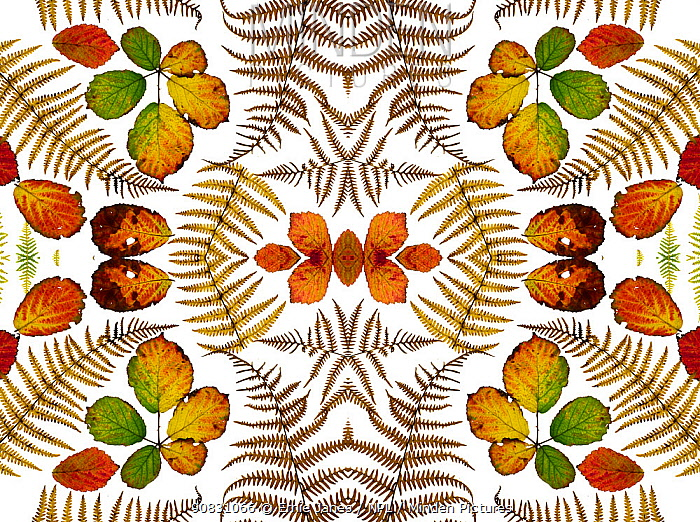 Kaleidoscopic image of Bramble leaves (Rubus fruticosus) and bracken fronds changing colour in autumn on white background