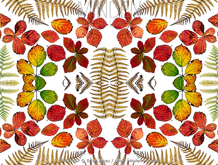 Kaleidoscopic image of Bramble leaves (Rubus fruticosus) and bracken fronds changing colour in autumn.