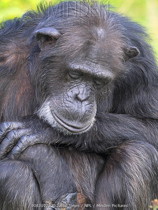 Chimpanzee (Pan troglodytes) resting with eyes closed. Captive.