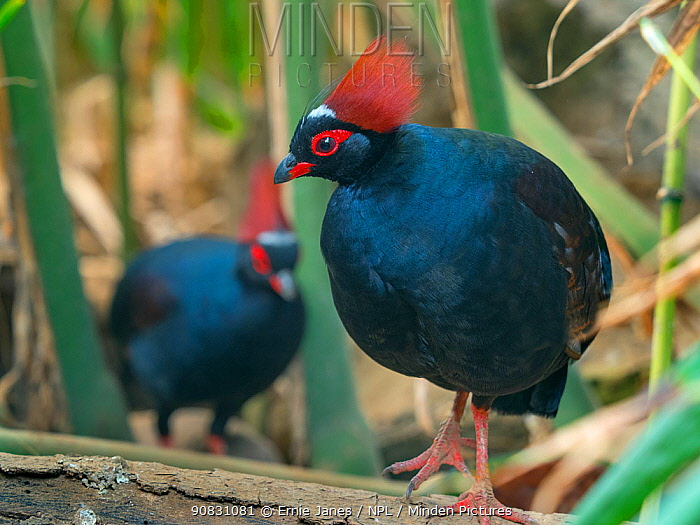 Crested or Red-crowned wood partridge (Rollulus rouloul) two males. Captive.
