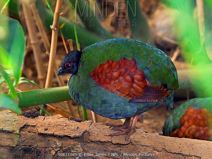 Crested or Red-crowned wood partridge (Rollulus rouloul) female. Captive.