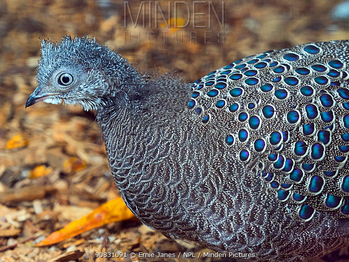 Grey peacock-pheasant (Polyplectron bicalcaratum) portrait. Captive.
